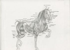 horse muscle anatomy by spanishartist