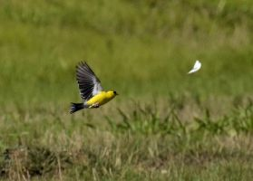 Male Yellow Finch by Noble-Kenshi