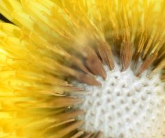 dandelion stages by Mjag