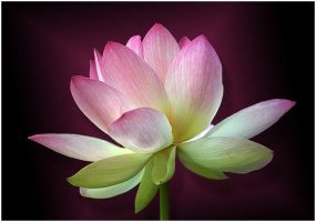 SACRED LOTUS 10 by THOM-B-FOTO