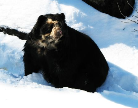 Spectacled Bear Stock 2 by HOTNStock