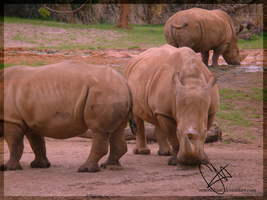 White Rhinos by Notebellum