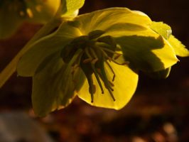 Green Hellebore by Simona777