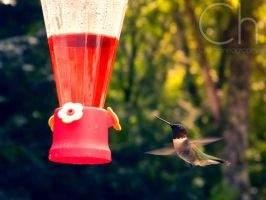 Hummingbird 4 by Champineography