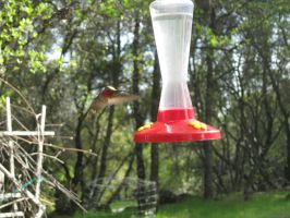humming bird by TheNewCoyote