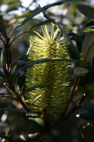 Banksia aemula by mightee-mouse
