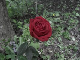 That which we call 'Rose' by DI-FL