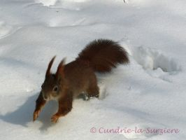 Squirrel 50 by Cundrie-la-Surziere