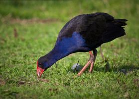 New Zealand Pukeko by pwillyams