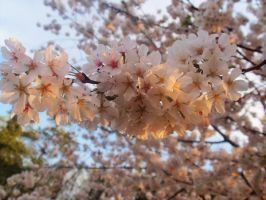 Cherry blossom on the lake 7 by looking-for-hope