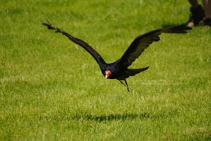 Turkey Vulture Low Pass by 8TwilightAngel8