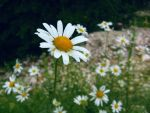 Camomile by Taira1301