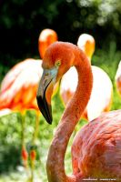 American Flamingo II by Ullises