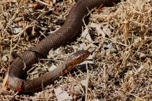 Eastern Water Snake 2015 by natureguy