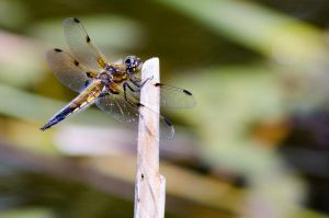 4 spotted chaser by corvuscorax1983