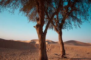 Two trees in a desert by Drinkdog
