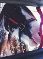 Beautiful Clydesdale by Madylyne