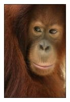 Portrait of an Orang Utan by Briont