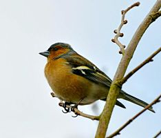 Chaffinch by SianMurrell