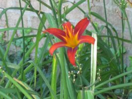 Tiger Lily 2 by moulinrougegirl77