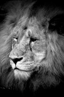 Black and white lion 2 by DanielleMiner
