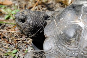 Gopher Tortoise #1 by LilyOfTheSword