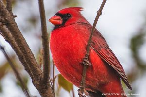 Cardinal in my Backyard by CRELLIOTT0302