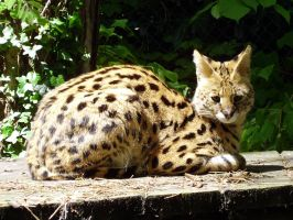 serval by champivet