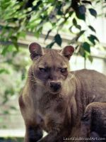 Fossa by Lauridia