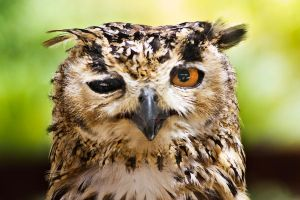 indian eagle owl by Xurdeblanco
