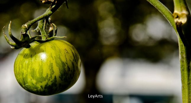 Tomato by leyannis