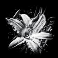 lily... by vw1956