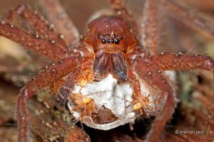 Huntsman with Babies by melvynyeo