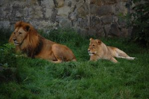 lions by rashell-stocks