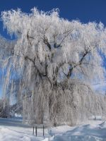 Frosty Willow by BritLawrence