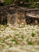 Patagonian Mara 00 - Jun 13 by mszafran