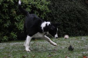 Collie Dogs 23 by Tasastock