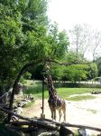 Giraffe's Tongue - Cameron Park Zoo by bugonawall