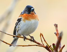 Brambling II by nordfold