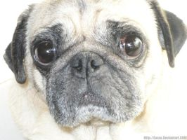 My Pug by Earaa
