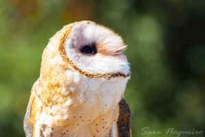 Barn Owl by Sara-N-Photography