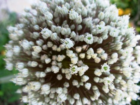 leek flower by sedativeflower