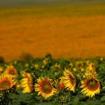 sunflowers by PadmeNaboo