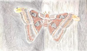 Atlas Moth WIP 8-25-13 001 by Aurora9912