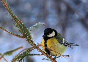 Great tit by Sintija