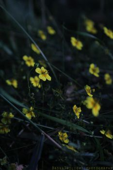 Nature Project: Little yellow flowers by DashaTwilight