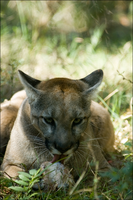 Florida Panther II by hoboinaschoolbus