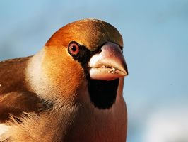 Hawfinch by VillageBuzz