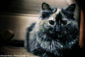 my lovely cat by Ahmad8Khan