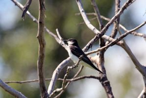 Eastern Kingbird by sgt-slaughter